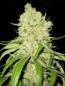 Number one cannabis strain to grow in Australia